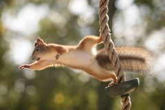Squirrel in a rope reaching out. Red squirrel in a rope is reaching out Stock Image