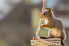 Squirrel rope Royalty Free Stock Image