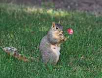 Squirrel and Rose Royalty Free Stock Images