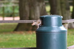 Squirrel in rubbish bin Stock Photography