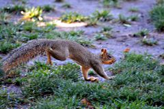 Squirrel running. Across the ground looking for nuts Stock Photography