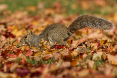 Squirrel running in autumn Royalty Free Stock Images