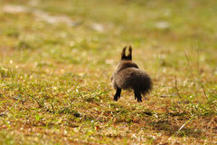 Squirrel running away. On grass with sunshine stock photo