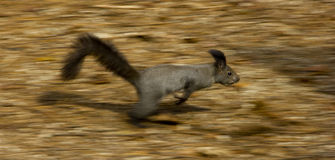 Squirrel running fast. Towards a tree royalty free stock photo