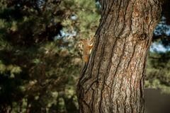 Squirrel running fast up to the tree. Squirrel is moving up to the fir tree Stock Photos