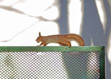 Squirrel running on the metal grill of the fence on a blurred ba royalty free stock photography