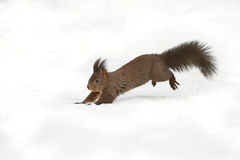 Squirrel running in the snow. Squirrel running on snow in winter in a Swiss forest Royalty Free Stock Image