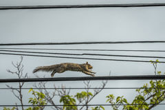 Squirrel Running on Telephone Wire Stock Image