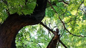 Squirrel running on the tree tops stock video