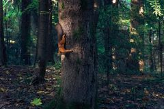 A squirrel running on the tree upside down Royalty Free Stock Images