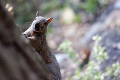 Squirrel running through the woods Royalty Free Stock Images