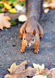 Squirrel runs around on the leaves Stock Images