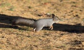 Squirrel runs Royalty Free Stock Photos