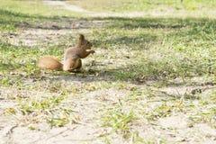 Squirrel eats walnut stock images