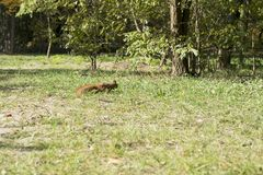 Squirrel runs through the forest Stock Images