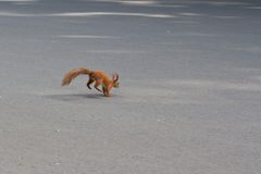 Squirrel runs on road Royalty Free Stock Photo