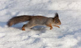 Squirrel runs through the snow Stock Images