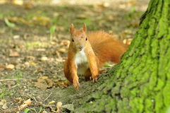 Squirrel. Rusty squirrel looking from behind a tree with head dusted with ground Royalty Free Stock Images