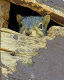 Squirrel's in the Attic. A family of squirrels nests in the roof gable Royalty Free Stock Photos