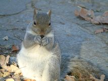 Squirrel`s eating along Parco del Valentino stock image