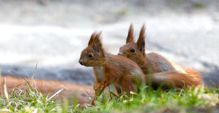 Squirrel's family Royalty Free Stock Photos