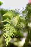 Squirrel's foot fern Stock Image