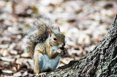 A squirrel and it& x27;s nut Stock Photos