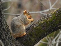 Squirrel`s Prize Royalty Free Stock Image