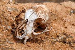 Squirrel's skull abandoned in the desert Stock Photo