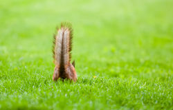 Squirrel's tail Stock Photography