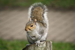 Squirrel sat on wooden log, close up. Squirrel sat on wooden log royalty free stock photo