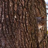 Squirrel saying hi royalty free stock photos