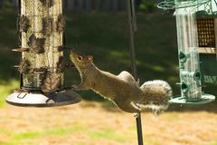 Squirrel Scavenging For Food Royalty Free Stock Photos