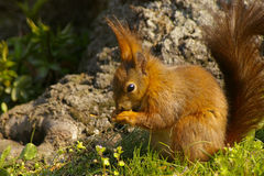 Squirrel, Schonbrunn, Vienna Royalty Free Stock Photography