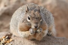 Squirrel (Sciuridae) Royalty Free Stock Photography