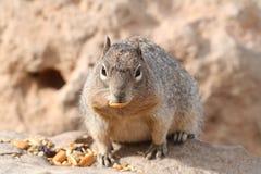 Squirrel (Sciuridae) Royalty Free Stock Image