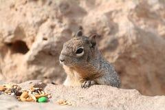 Squirrel (Sciuridae) Stock Photos