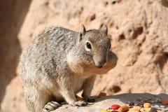 Squirrel (Sciuridae) Royalty Free Stock Photo