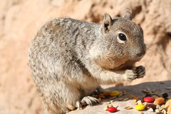 Squirrel (Sciuridae) Royalty Free Stock Images