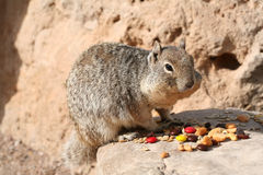 Squirrel (Sciuridae) Stock Photography
