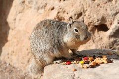 Squirrel (Sciuridae) Stock Photography