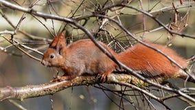 Squirrel - Sciuridae Royalty Free Stock Photography