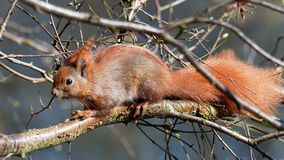 Squirrel - Sciuridae Royalty Free Stock Images