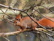 Squirrel - Sciuridae Stock Photo