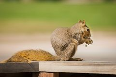 Squirrel Sciuridae Royalty Free Stock Image