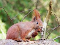 Squirrel - Sciuridae Royalty Free Stock Image