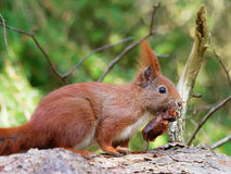 Squirrel - Sciuridae Royalty Free Stock Photos
