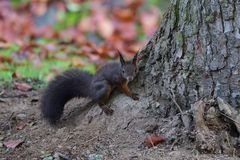 Squirrel sciurine crawly on the trees. Red squirrel sciurine crawly on the trees royalty free stock images