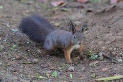 Squirrel sciurine crawly on the trees. Red squirrel sciurine crawly on the trees royalty free stock photos