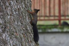 Squirrel sciurine crawly on the trees. Red squirrel sciurine crawly on the trees royalty free stock photography